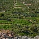 postup, vinograd, loza